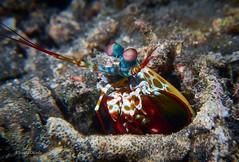 Looking around (kyshokada) Tags: peacockmantisshrimp mantisshrimp harlequinmantisshrimp paintedmantisshrimp clownmantisshrimp odontodactylusscyllarus animalplanet a7 indonesia lembehstrait pacific shrimp reef underwater tropical scuba sony diving