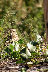 Athene cunicularia (andrévielmamansilla) Tags: aves strigidae