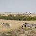 Common Zebras - Kenya