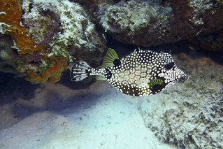Smooth trunkfish Lactophrys triqueter