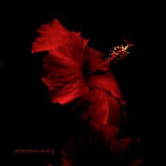 Fantasía en Rojo/Fantasy in Red (Altagracia Aristy Sánchez) Tags: hibisco hibiscus cayena laromana repúblicadominicana dominicanrepublic caribe caribbean caraibbi antillas antills trópico tropic américa altagraciaaristy fujifilmfinepixhs10 fujifinepixhs10 fujihs10
