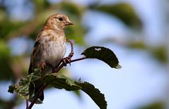 Juvenile Goldfinch. (Chris Kilpatrick) Tags: chris canon canon7dmk2 outdoor wildlife nature animal bird goldfinch juvenile douglas isleofman garden springwatch sigma150mm600mm tree