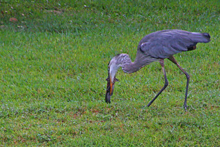 Great Blue Heron with Fish (4 of 4)