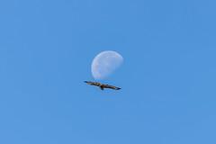 Bussard fliegt in den Mond (Alderbabbsack) Tags: mond wildlife taunus hessen deutschland vogel greifvogel raubvogel bussard