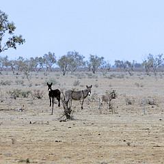 THE LEG FROM MORNEY CAMP SITE TO QUILPIE (16th man) Tags: queensland australia morneycampsite quilpie kangaroo betoota betootaraces windorah jettrails donkeys cattle canon eos eos5dmkiii