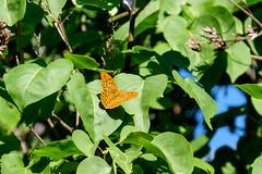 06072018-DSCF8744-2 (Ringela) Tags: butterfly animals insect saintlaurentleminier cevenole ganges la combe france travel juli 2018 fujifilm xt1 languedocroussillon cévennes