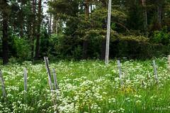 Wild carrots (nousku) Tags: suomi finland tamron sysmä flowerstrees mmp