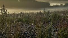 Rinder zählen im Frühnebel - es ist wieder einmal kein Tier zu sehen; Bergenhusen, Stapelholm (23) (Chironius) Tags: stapelholm bergenhusen schleswigholstein deutschland germany allemagne alemania germania германия niemcy baum bäume tree trees arbre дерево árbol arbres деревья árboles albero árvore ağaç boom träd landschaft landwirtschaft morgen morgens nebel fog brouillard niebla asterids campanuliids asternartige asterales korbblütler asteraceae carduoideae cynareae frucht fruit frutta owoc fruta фрукты frukt meyve buah morning matin mattina alba ochtend gras gräser herbe graminées grass grasses erba трава травы commeliniden süsgrasartige poales