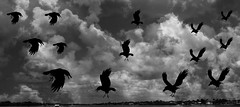 As the Crows Fly (soniaadammurray - On & Off) Tags: digitalphotography manipulated experimental collage abstract blackwhite sky clouds fly crows birds hcs cliche artchallenge clichesaturday