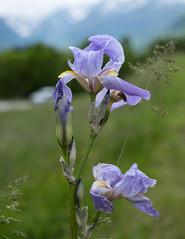 Iris bleu d'Allemagne (RIch-ART In PIXELS) Tags: france closeup macro fleur flower hautespyrénées pyrénées avajan occitanie flowering grass depthoffield fujifilmxt20 xt20 iris midipyrénées plant montagne mountain