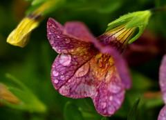 Raindrops Keep Falling (acwills2014) Tags: purple water raindrops