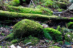 20180914-11-Fallen wattle flowers on moss (Roger T Wong) Tags: 2018 australia fernglade ferntree hobart rogertwong sel24105g sony24105 sonya7iii sonyalpha7iii sonyfe24105mmf4goss sonyilce7m3 tasmania green moss wattleflowers