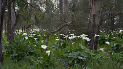 In The Forest (Stueyman) Tags: sony alpha a7 a7ii zeiss za 55 green lilies forest trees nature wa westernaustralia au australia perth baldivis