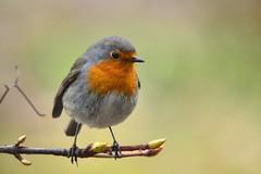 DSC 7917 Rotkehlchen - Robin (Charli 49) Tags: naturfotografie nature wildlife tier vogel rotkehlchen garten nikon d7200