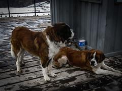 São Bernardo na neve (thiagodiasbsb) Tags: são bernardo andes chile dog cão cachorro dupla dois cães cachorros santiago neve nevado nieve farellones