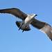Kemah - Flying Gull