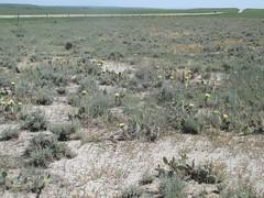 Sagebrush flats with abundant prickly pear and big sage (tigerbeatlefreak) Tags: sagebrush shale flat prickly pear big sage opuntia artemisia tridentata south dakota