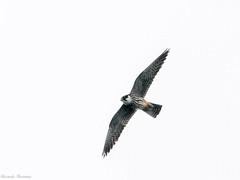 EM162074_DxO.jpg (riccardof55) Tags: uccelli birdwatching lodolaio parpari