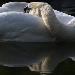 I'm blinded by your grace #nature #beauty #landscape #outdoors #swan #nikon #tamron #portrait (Franklyphotography) Tags: nikon beauty outdoors nature swan portrait tamron landscape