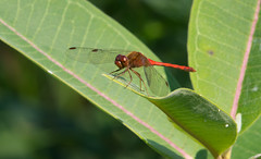 Meadowhawk (Explore 9/20/18) (vischerferry) Tags: dragonfly meadowhawk newyorkstate sympetrum leaves reddragonfly