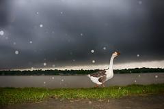 IMG_3688 (Rasel Rony) Tags: ngc nature river rainyseason bangladesh beautifulbangladesh beautiful street streetphotography streetphotographybangladesh artphotography animals animalportrait