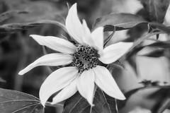 Creamy Smooth (Modkuse) Tags: flower bug monochrome bw blackandwhite nikon nikondslr nikond700 nikon105mmf28macronikkor macrophotography macrolens macroflower 105mmf28nikkormacro 105mm nikon105mmf28macro art fineartphotography photoart