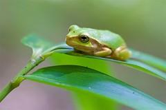 ニホンアマガエル Japanese tree frog (takapata) Tags: sony sel90m28g ilce7m2 macro nature frog