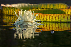 Water Lily (mclcbooks) Tags: flower flowers floral waterlilies waterlily lilypads pond denverbotanicgardens colorado summer reflections