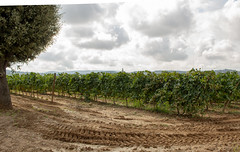 Vineyard (ryankmathis93) Tags: penedes wine tasting 4x4 cava travel photography