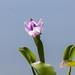 Eichhornia sp.