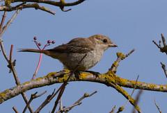 Woodchat Shrike (Robert & Pamela) Tags: birds scotland wildlife shrike rare barnsness