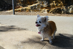 20180819-IMG_3527 (PM Clark) Tags: jezebel chihuahua long coat pure bred
