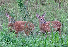 Twins (mrose425) Tags: eating posing green white brown twins spots fawn deer whitetail amateur backyard