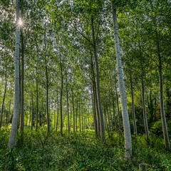 Wood (enneafive) Tags: meadow bucolic trees poplars sinttruiden gelinden belgium limburg fujifilm xt2 affinityphoto wood forest nature sun sunburst light