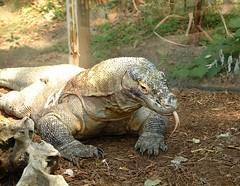 Conosci il segreto mortale del drago di Komodo? Scoprilo con noi! (Cudriec) Tags: curiosità dragodikomodo informazione rettili saliva
