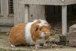 Guinea pig Hotel.
