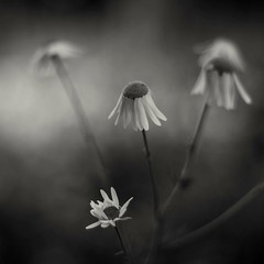 Matricaria chamomilla (Stefano Rugolo) Tags: stefanorugolo pentax k5 pentaxk5 smcpentaxm50mmf17 ricohimaging matricariachamomilla chamomilla wildflowers monochrome depthoffield bokeh vintageprimelens vintagelens vintageprime primelens manualfocuslens manualfocus manual