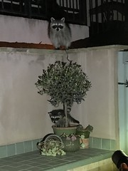 Raccoon family invading our backyard (TomChatt) Tags: ourbackyard wildlife raccoon