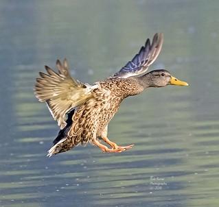Duck, Mallard Female. (Explored)