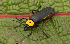 Soldier Beetle, Chauliognathus sp., Cantharidae (Ecuador Megadiverso) Tags: andreaskay beetle birdwatcherslodge cantharidae chauliognathussp coleoptera ecuador id512 mindo soldierbeetle