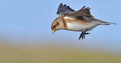 Dropping In... (KHR Images) Tags: snowbunting plectrophenaxnivalis snow bunting wild bird norfolk coast flying inflight landing salthouse wildlife nature nikon d500 kevinrobson khrimages