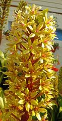 Pineapple Flower - I think! (Cornishcarolin. Stupid busy!! xx) Tags: cornwall httpswwwedenprojectcom nature flowers plants