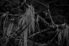 Wooly (ThunderRush) Tags: black white bw monochrome macro close up detail wool moss fur furry woolly branch twig hanging hang mold hair