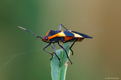 Large milkweed bug (dpsager) Tags: chicago dpsagerphotography illinois largemilkweedbug lincolnpark metabones insect
