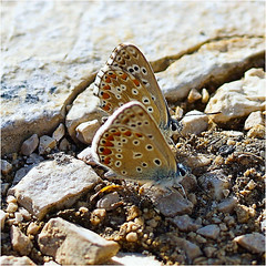twins........ (atsjebosma) Tags: butterflies twins vlindertjes atsjebosma summer preci italy 2018 stones stenen coth5 ngc npc