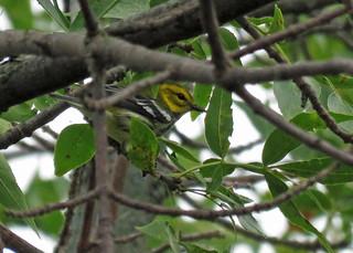 Black-throated Green