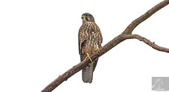 Kārearea 198 (Black Stallion Photography) Tags: adult female newzealand falcon bird kārearea wildlife nzbirds prey perch branch brood patch brown feathers plumage black stallion photography igallopfree