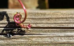 Mini-minimalism (docoverachiever) Tags: garden spiral plant vine macro wood nature fence miniinminimalism smileonsaturday