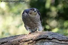 Sparrowhawk  - Female (vampiremoi) Tags: sparrowhawk female staring eyes nikon d500 150600 tamron g2 nature raptor moihicksphotography bird perched tree branch june 24th 2018 summer talons