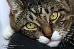 dreamy look (KevinBJensen) Tags: cat face portrait cateyes cats cateye playing canon cute dreamy look katzenauge katze katzen katzenaugen katzenportrait sweet